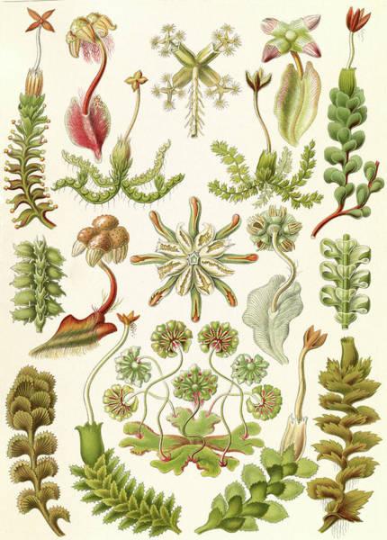 Wall Art - Drawing - Illustration Shows Liverworts. Hepaticae by Artokoloro