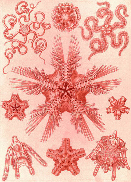 Wall Art - Drawing - Illustration Shows Marine Invertebrates Related To Starfish by Artokoloro