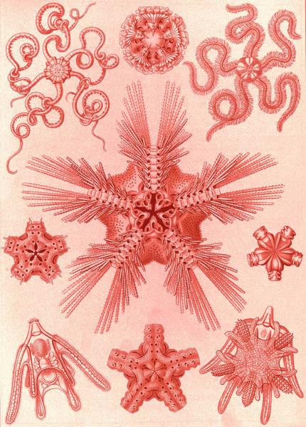 Wall Art - Drawing - Illustration Shows Marine Invertebrates Related To Starfish by Artokoloro