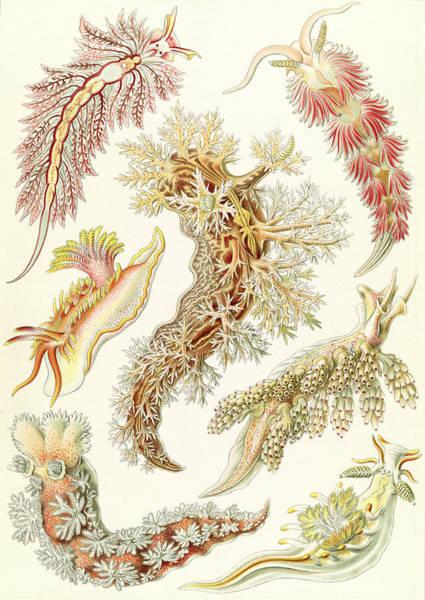 Wall Art - Drawing - Illustration Shows Marine Mollusks. Nudibranchia by Library of Congress; P&P