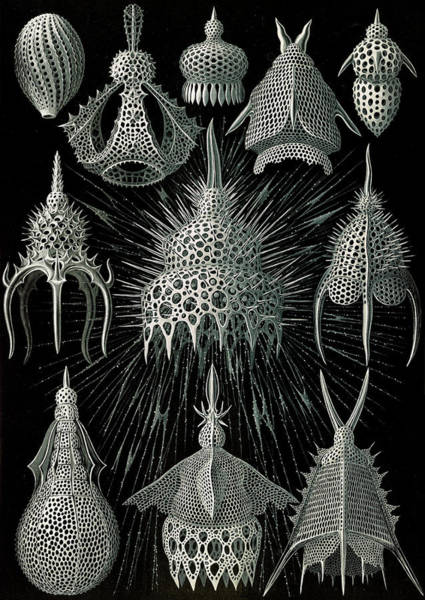 Wall Art - Drawing - Illustration Shows Microorganisms In The Class Radiolaria by Artokoloro