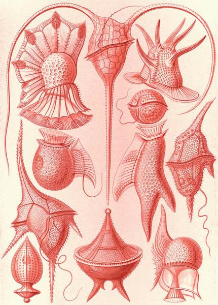 Wall Art - Drawing - Illustration Shows Microorganisms. Peridinea by Artokoloro