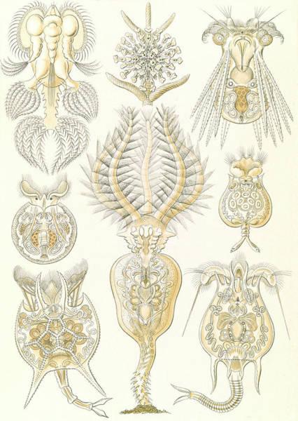 Wall Art - Drawing - Illustration Shows Microorganisms. Rotatoria by Artokoloro