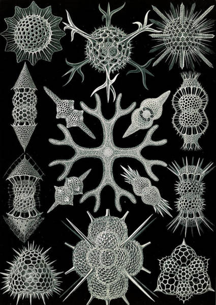 Wall Art - Drawing - Illustration Shows Microorganisms. Spumellaria by Artokoloro