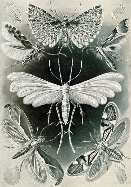 Wall Art - Drawing - Illustration Shows Moths. Tineida. - Motten by Artokoloro