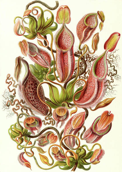 Pitchers Drawing - Illustration Shows Pitcher Plants. Nepenthaceae by Artokoloro