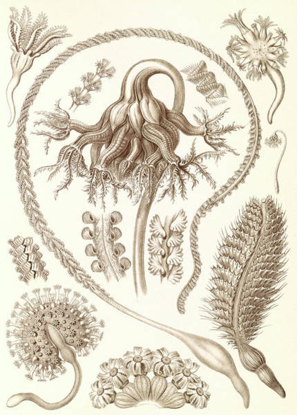 Wall Art - Drawing - Illustration Shows Sea Pens. Pennatulida by Artokoloro