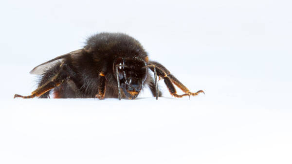 Bee Sting Photograph - I'm Coming To Get You by Nigel Jones