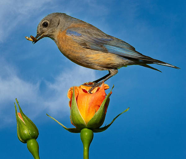 Turdidae Wall Art - Photograph - I'm On Top Of The Rose. by Jean Noren