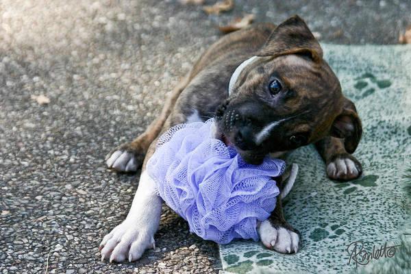 Photograph - Imma Git U    Pit Bull Pup by Ann Ranlett