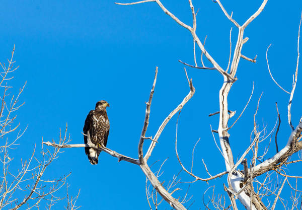 Photograph - Immature Bald Eagle by Michael Chatt