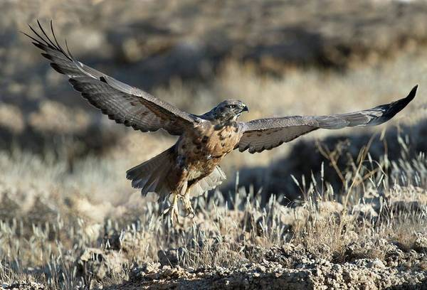 Falconiformes Photograph - Immature Jackal Buzzard Taking Off by Tony Camacho/science Photo Library