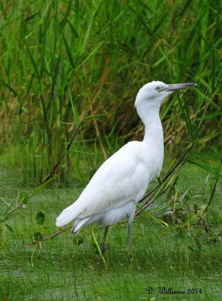 Photograph - Immature Little Blue Heron by Dan Williams