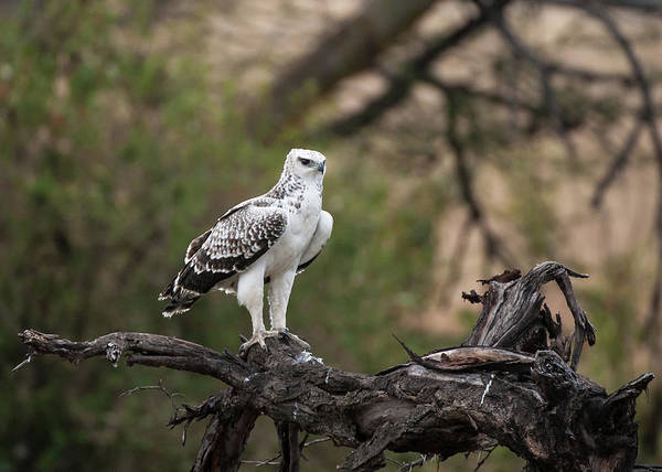 Eagle Photograph - Immature Martial Eagle by Ken Petch