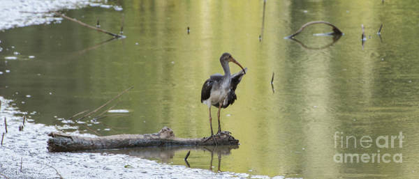 Lake Juliette Photograph - Immature White Ibis by Donna Brown