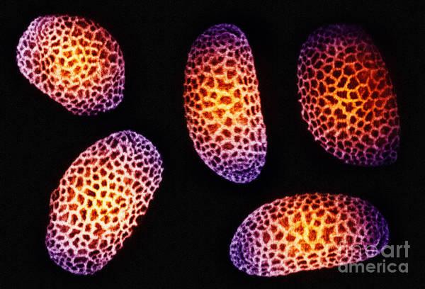 Photograph - Impatiens Pollen Grains by Scott Camazine