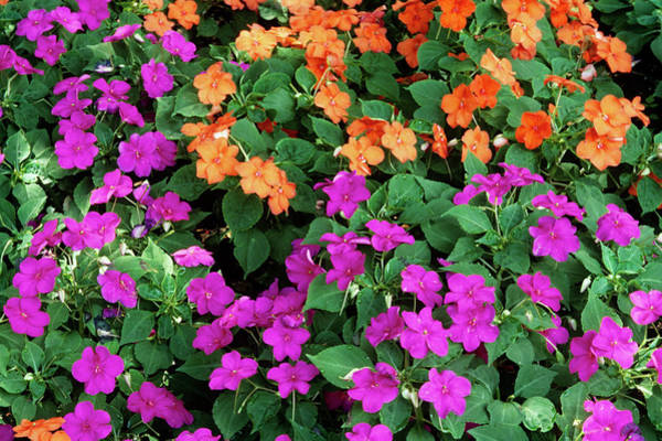 Voodoo Photograph - Impatiens 'voodo Mix' Flowers by Sally Mccrae Kuyper/science Photo Library