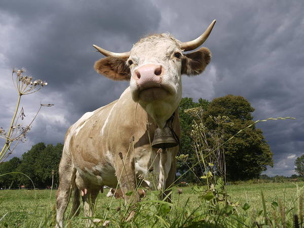 Cow Photograph - Imposing Cow In The Field Against Dark by Fresh, Amazing Pictures Make People Look!