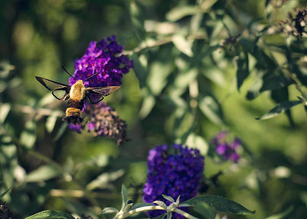 Hemaris Photograph - Imposter by Heather Applegate