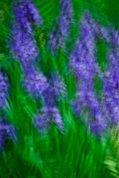 Photograph - Impression Of Siberian Irises by  Onyonet  Photo Studios