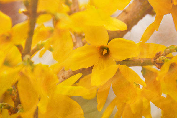 Art Print featuring the photograph Impressionist Forsythia by Jemmy Archer