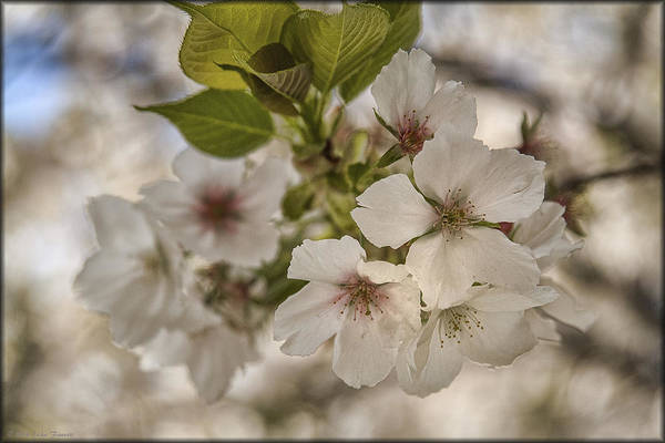 Photograph - In Bloom by Erika Fawcett