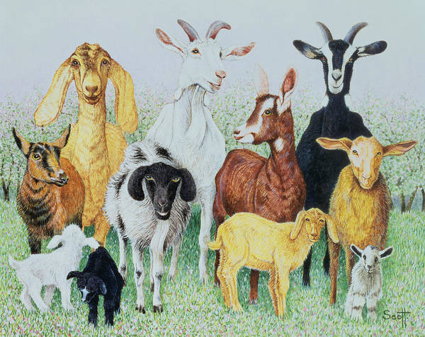 Goats Photograph - In Clover by Pat Scott