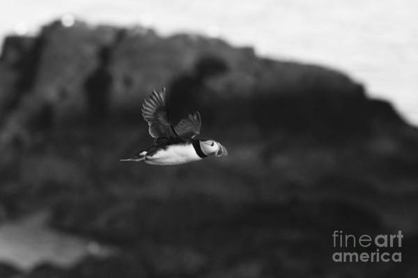 Photograph - In Flight by Anne Gilbert