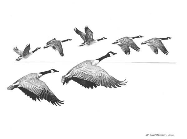 White Goose Drawing - In Flight by Paul Shafranski