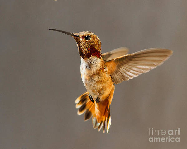 Selasphorus Photograph - In-flight Pose For The Camera by Carl Jackson