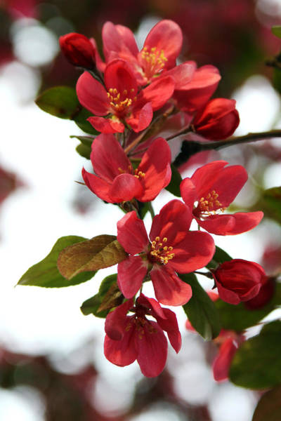 Photograph - In Full Bloom by Heather Kenward