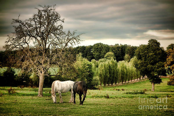 Draft Horses Photograph - In Perche by Olivier Le Queinec