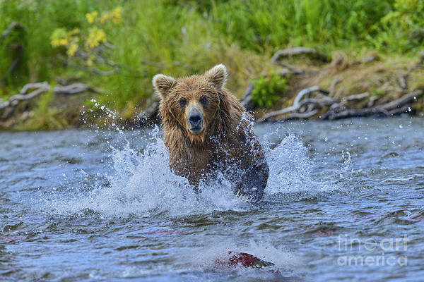 Photograph - In Pursuit Of The Salmon by Dan Friend