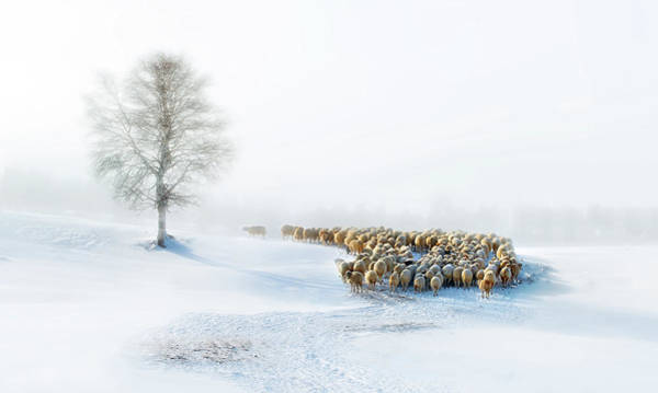Herd Photograph - In Snow by Hua Zhu