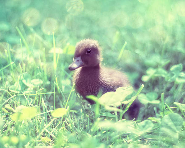 Duckling Photograph - In The Clover by Amy Tyler