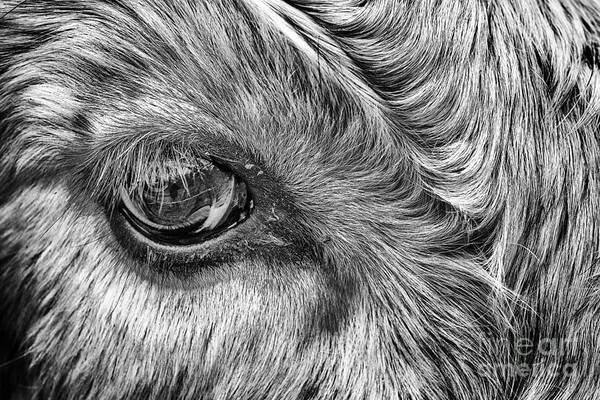 Steer Photograph - In The Eye by John Farnan