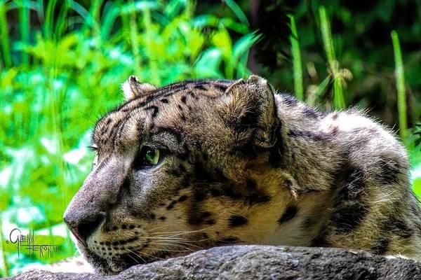 Photograph - In The Eye Of A Leopard by Glenn Feron
