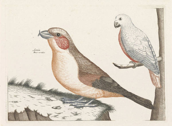 Crossbill Drawing - In The Foreground A Crossbill, Right On A Branch A White by Anonymous