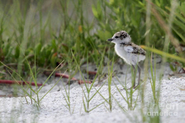 In The Grass - Wilson's Plover Chick Art Print