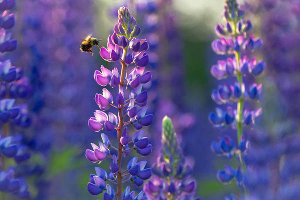 Bumble Bee Wall Art - Photograph - In The Land Of Lupine by Mary Amerman