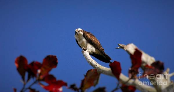 River Hawk Photograph - In The Leaves by Quinn Sedam