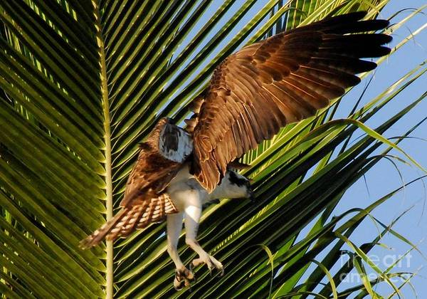 River Hawk Photograph - In The Palms by Quinn Sedam