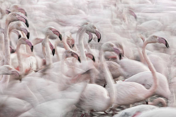 Wall Art - Photograph - In The Pink Transhumance by Martine Benezech