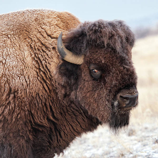 Photograph - In The Presence Of  Bison - 2 by OLena Art - Lena Owens