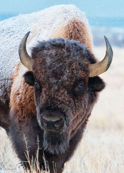 Photograph - In The Presence Of  Bison - 4 by OLena Art - Lena Owens