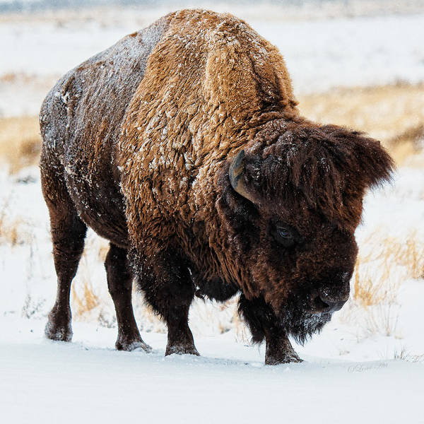 Photograph - In The Presence Of  Bison - 5 by OLena Art - Lena Owens