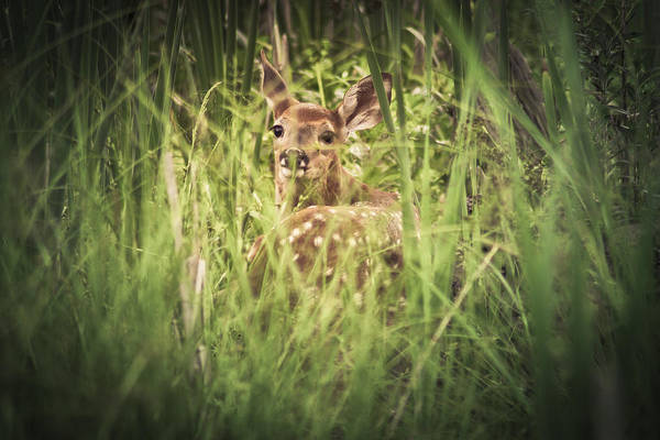 Fawn Photograph - In The Tall Grass by Shane Holsclaw