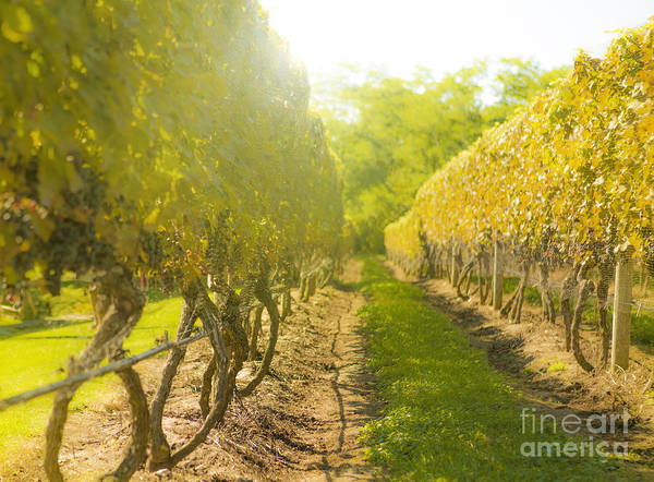 Winemaking Photograph - In The Vineyard by Diane Diederich