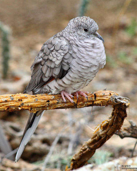 Photograph - Inca Dove by Elaine Malott