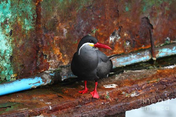 Photograph - Inca Tern On Girder by James Brunker